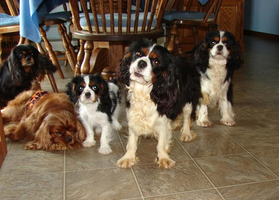 King Cavalier Puppies For Sale In Michigan